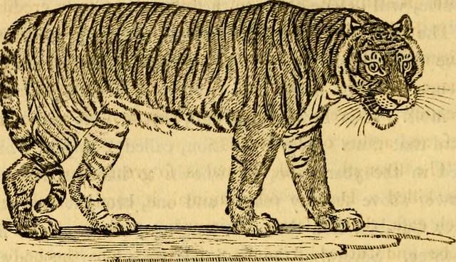 Certains jours j'ai un tigre à la place du coeur